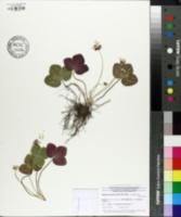 Image of Anemone americana