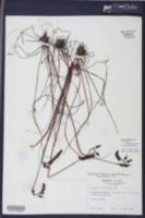 Drosera tracyi image