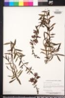 Angelonia angustifolia image