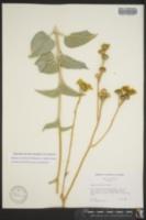 Image of Bahiopsis reticulata