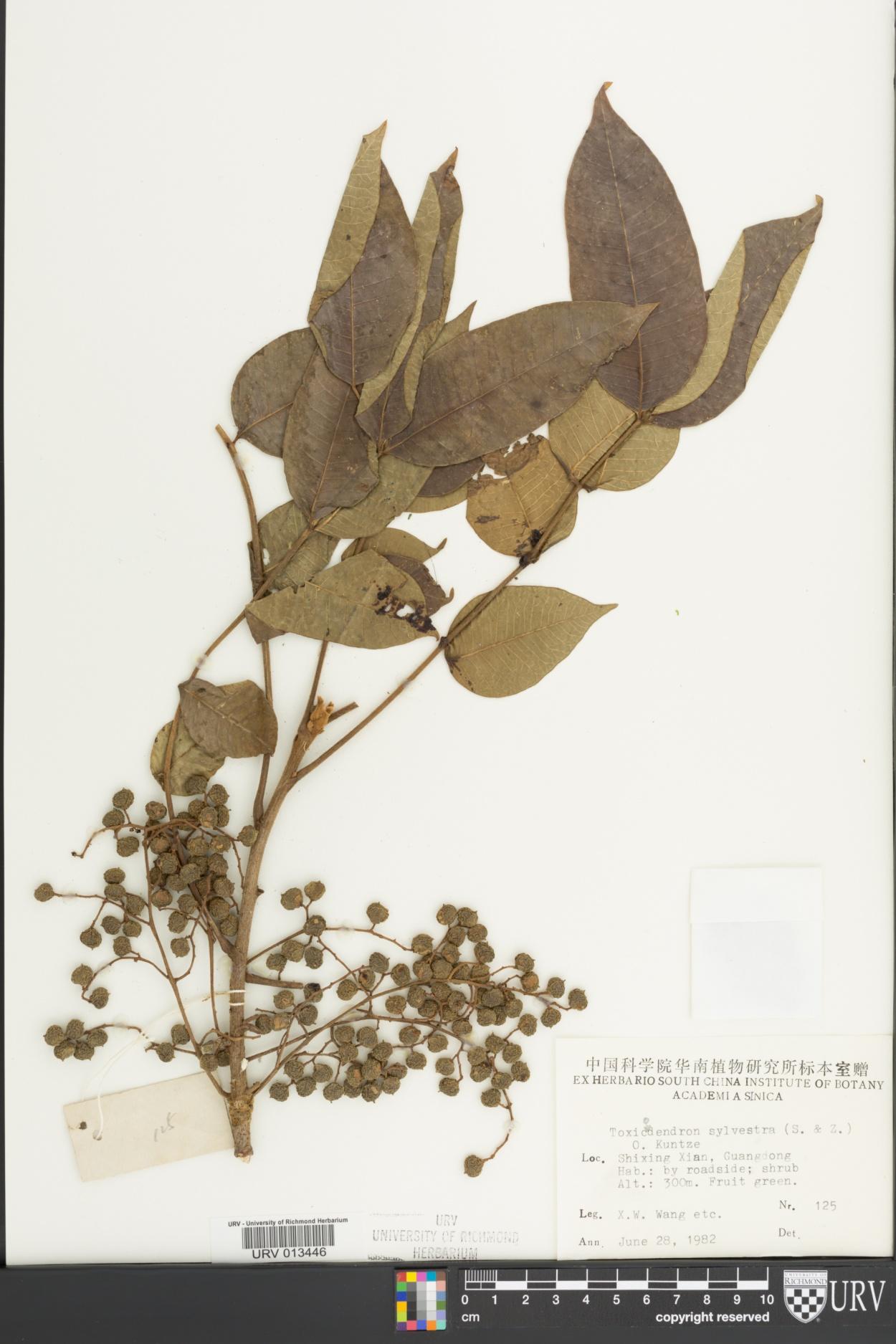 Toxicodendron sylvestre image