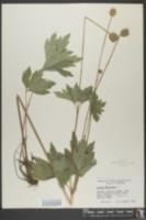 Anemone virginiana image