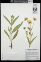 Arnica longifolia image