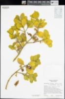 Phoradendron leucarpum subsp. macrophyllum image