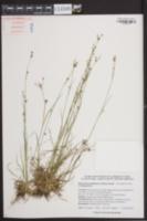 Rhynchospora globularis image