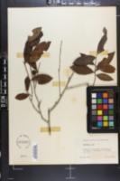 Image of Camellia thea