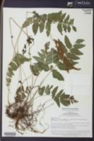 Image of Anemia semihirsuta