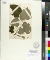 Tilia petiolaris image