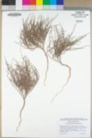 Eriogonum palmerianum image