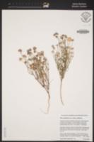 Gilia achilleifolia image