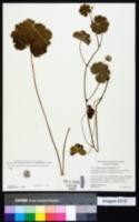 Image of Hydrocotyle poeppigii