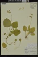 Image of Primula frenchii