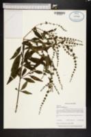 Image of Hyptis verticillata