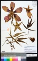 Hibiscus coccineus image
