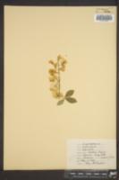 Image of Laburnum alpinum