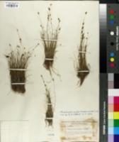 Image of Rhynchospora pusilla