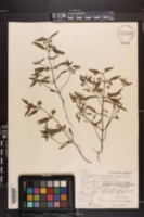 Image of Trichostema simulatum