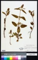 Image of Prunella caroliniana