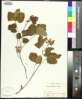 Rubus alaskensis image
