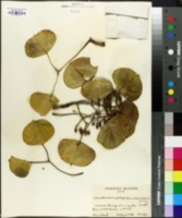 Image of Cheirodendron platyphyllum