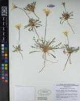 Anisocoma acaulis image