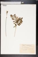 Image of Cracca hispidula