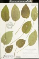 Image of Eurybia x herveyi