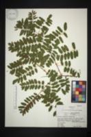 Amorpha schwerinii image