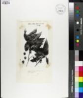 Quercus pinnativenulosa image