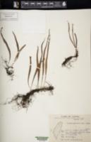 Image of Lepisorus monilisorus