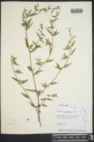 Image of Sebastiania corniculata