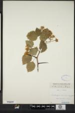 Crataegus arnoldiana image
