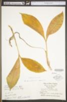 Convallaria majuscula image