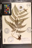 Image of Arachniodes amabilis