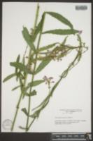 Image of Physostegia praemorsa