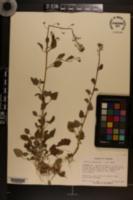 Image of Lobelia homophylla