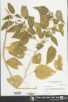 Physalis angulata image