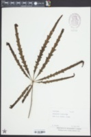 Image of Schefflera elegantissima