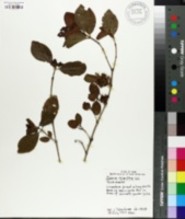 Image of Ixora triantha