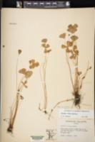 Image of Marsilea villifolia