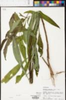Vernonia gigantea image