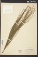 Casuarina cunninghamiana image