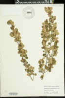 Image of Erythroxylum rotundifolium