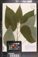 Image of Salvia karwinskii