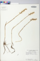 Spiranthes cernua image