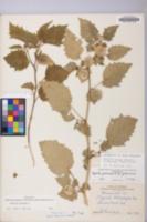 Physalis grisea image