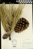 Pinus jeffreyi image