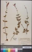 Salvia cinnabarina image