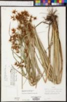 Rhynchospora careyana image