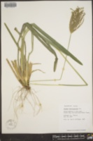 Chloris distichophylla image